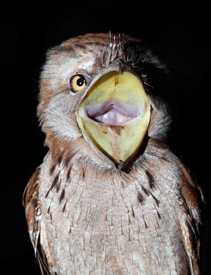 tawny-frogmouth-birds-33__700