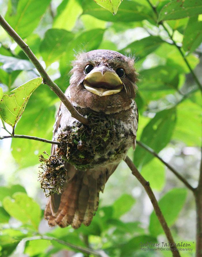 tawny-frogmouth-birds-34__700