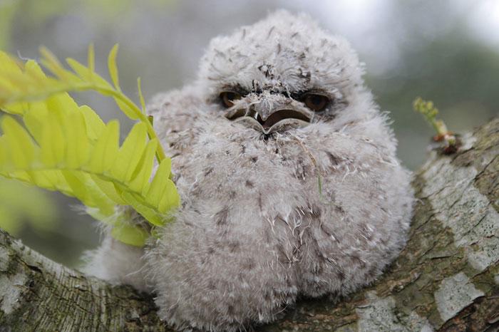tawny-frogmouth-birds-37__700