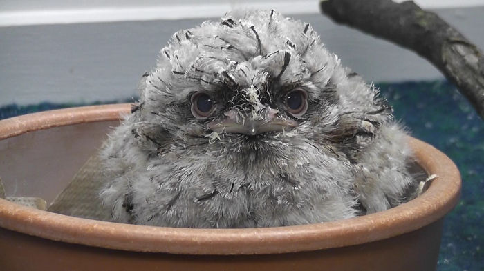 tawny-frogmouth-birds-50-png__700