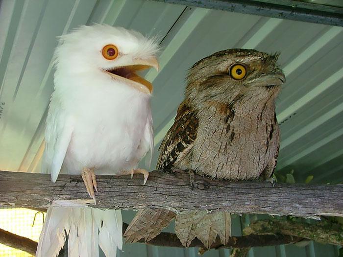 tawny-frogmouth-birds__700