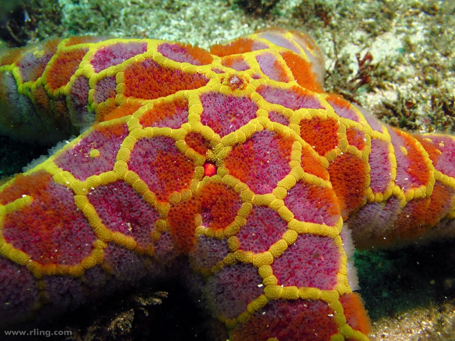 A Mosaic Sea Star (Plectaster decanus). Inscription Pt, Botany Bay, NSW