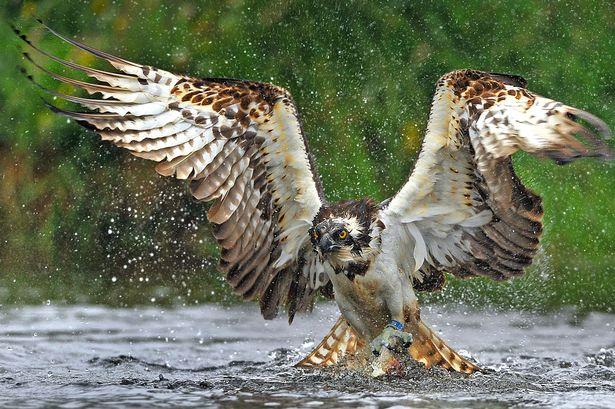 PAY-An-osprey-fishing-in-the-Scottish-Cairngorms