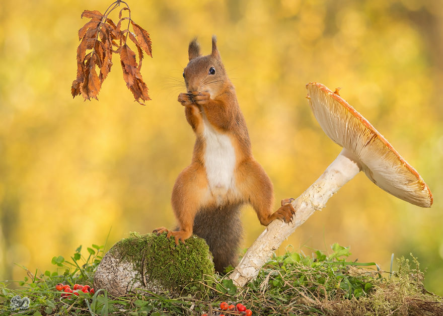 Photos-of-red-squirrels-spreading-their-legs-570f4cdf868d5__880