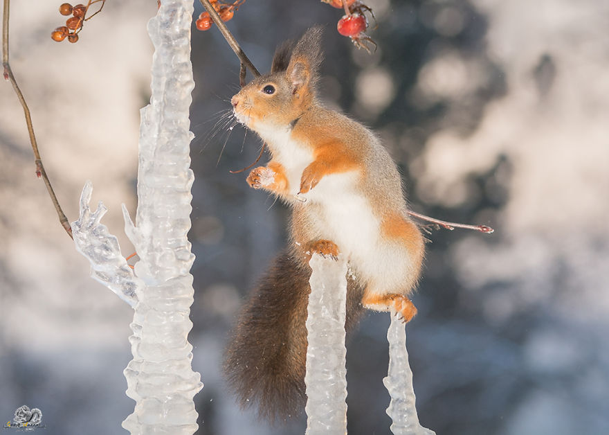 Photos-of-red-squirrels-spreading-their-legs-570f4cee416f4__880