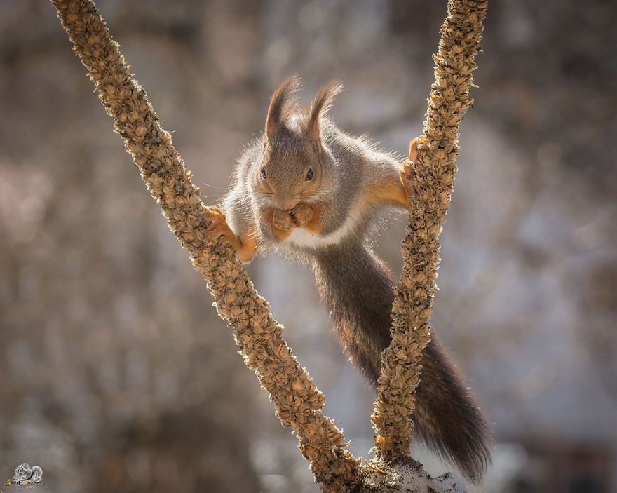 Photos-of-red-squirrels-spreading-their-legs-570f4cfb2db10__880