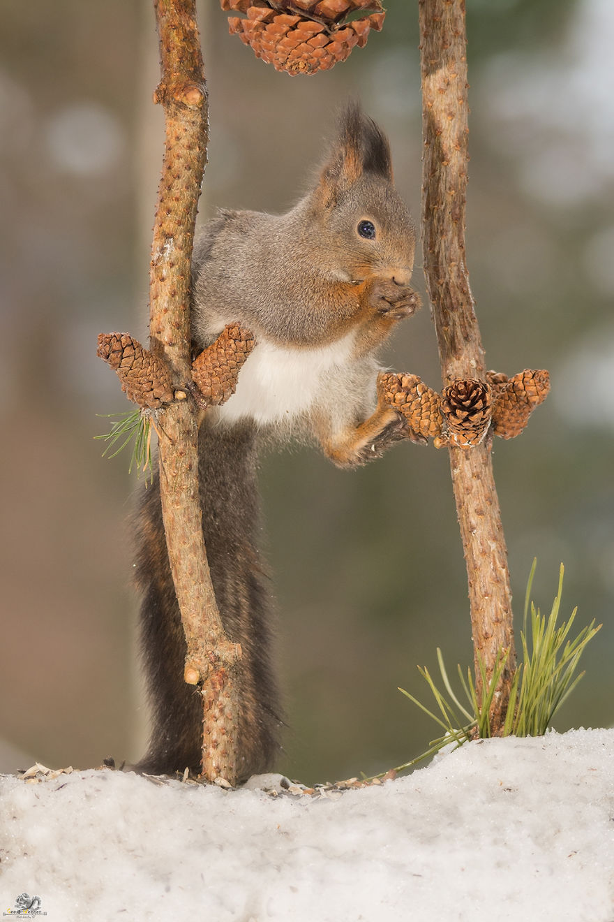 Photos-of-red-squirrels-spreading-their-legs-570f4cfe367bd__880