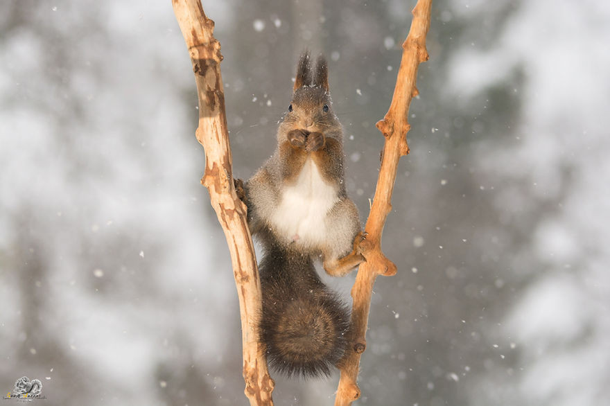 Photos-of-red-squirrels-spreading-their-legs-570f4d0c8578f__880