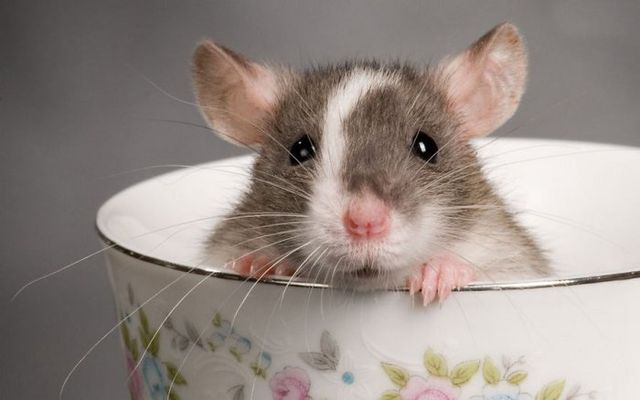 rat-021