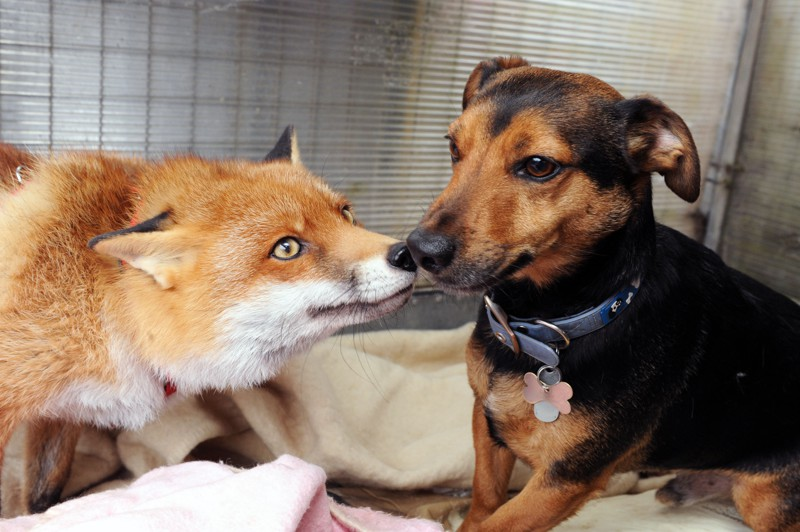 PIC BY DAN JAMES / CATERS NEWS - (PICTURED Roxy the fox with Buster) - If you cant beat them - join them! Meet the cunning fox who thinks shes one of the hounds. Roxy the red fox sleeps in a dog basket, enjoys chewing an old bone - and even joins her canine chums on the lead for walkies. She was rescued by staff at Nuneaton and Warwickshire Wildlife Sanctuary, after she was found by a member of the public almost strangled after being found dangling off a bridge with rope around her neck. But as volunteers at the sanctuary nursed her back to health, they were baffled by her doggy tendencies. And when she had recovered enough to be released back into the wild, staff were worried she had become so domesticated she would not survive - and were forced to let her stay at the sanctuary full time. SEE CATERS COPY