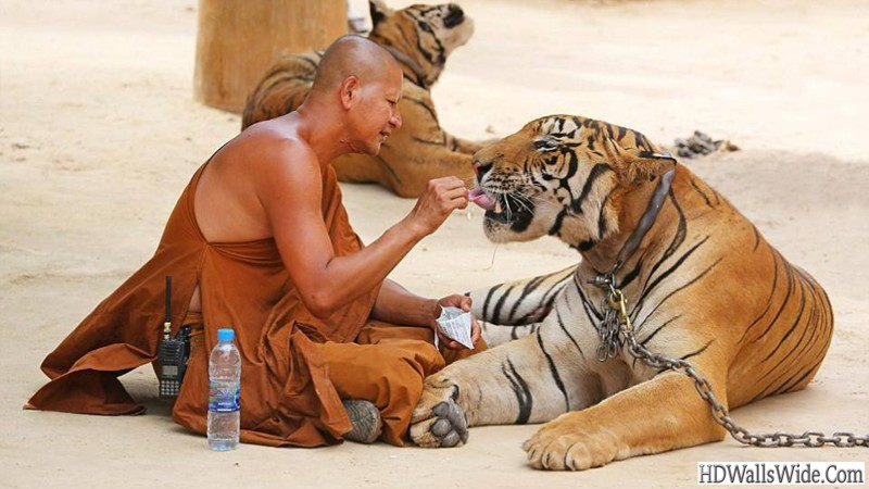 tiger-temple-of-thailand