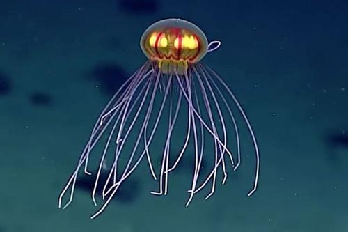 05052016-jellyfish