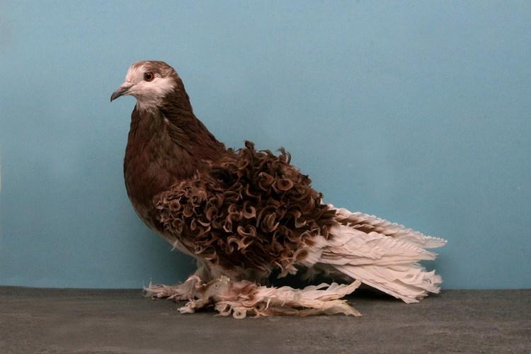 domashniy-golub-26