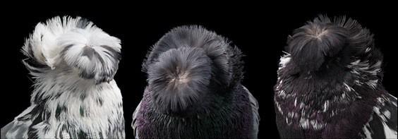 domashniy-golub-30