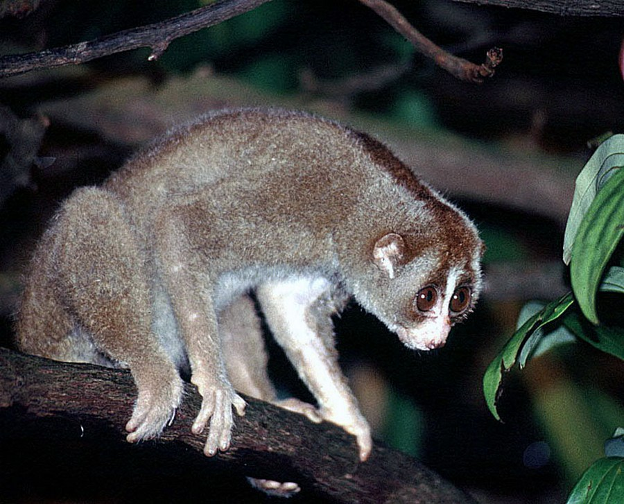 Sunda slow lorus, frequent in central Sumatra Nycticebus coucang