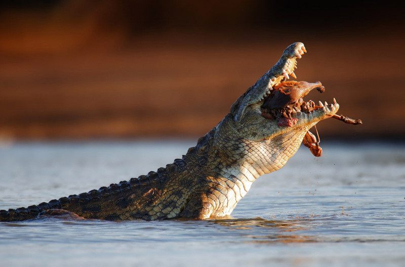 Nile crocodile (crocodylus niloticus) swollowing an Impala - Kruger National Park (South Africa)
