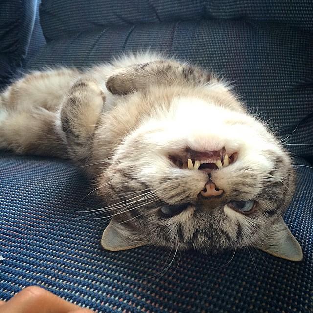 vampire_angry_cat_loki_07