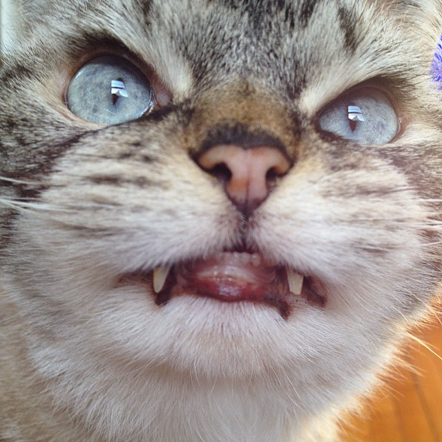vampire_angry_cat_loki_10