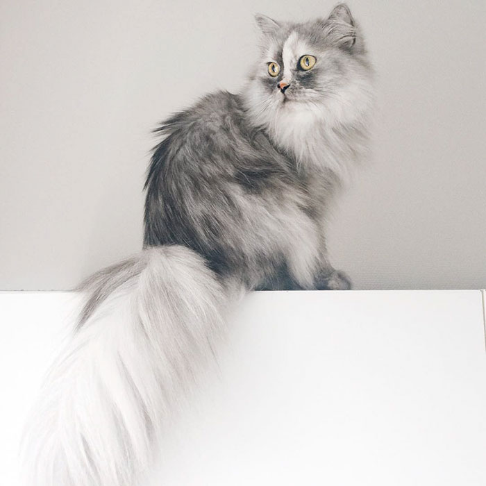 adopted-cat-fur-persian-halloalice-28