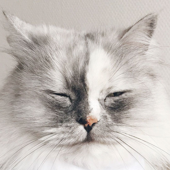 adopted-cat-fur-persian-halloalice-9