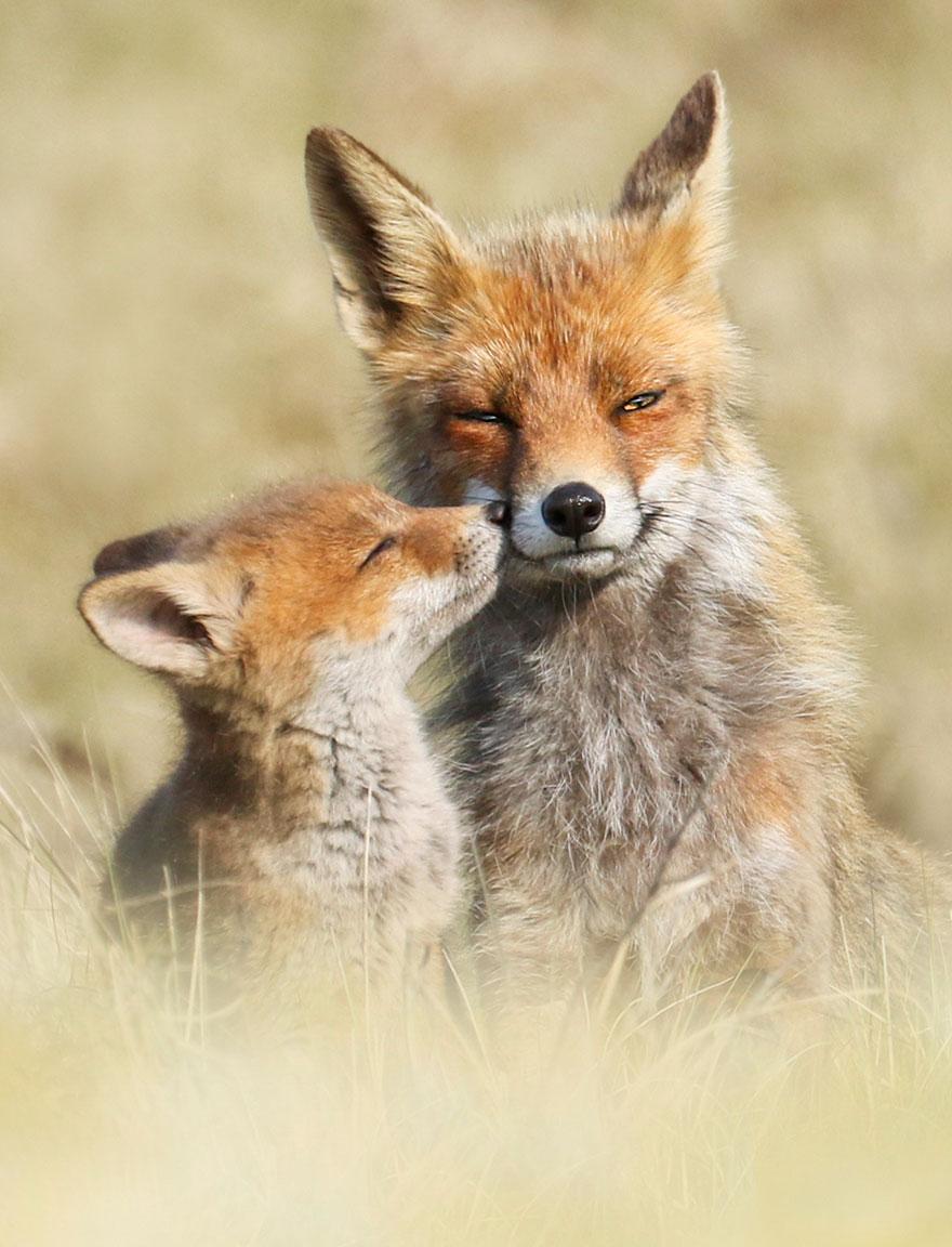 fox-photography-joke-hulst-13