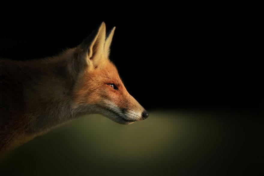 fox-photography-joke-hulst-2