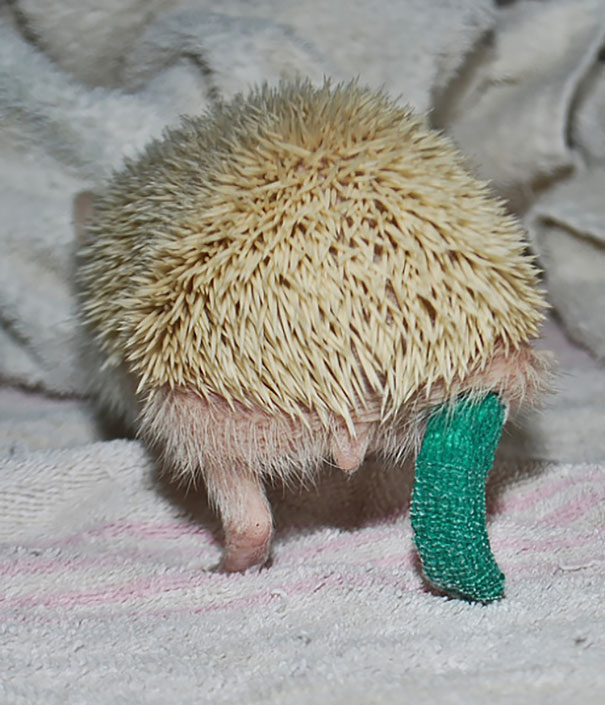 hedgehog-broken-leg-cast