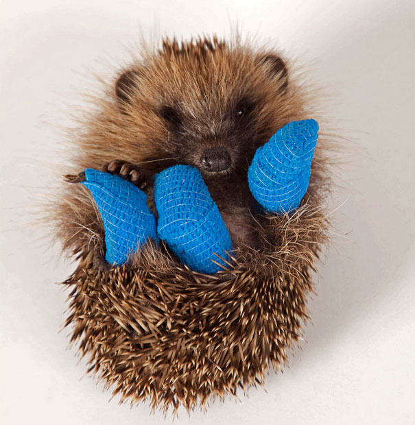 hedgehog-broken-legs-cast