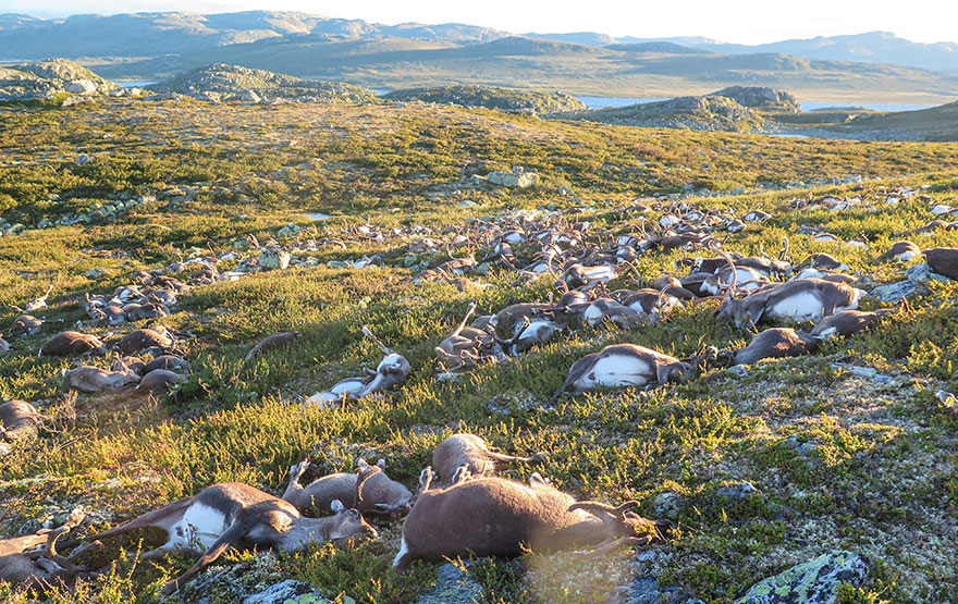 lightning-strike-kills-323-reindeer-norway-02