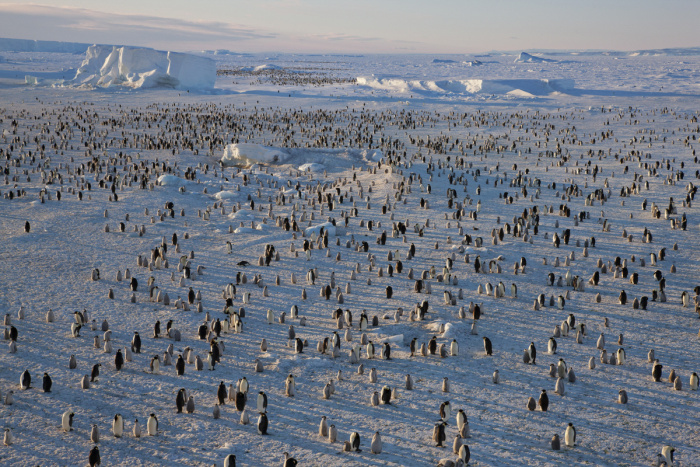 Emperor Penguins shot from the Mario Zuchelli Base, Ross Sea, Antarctica. Penguins at Floe Edge at Terra Nova.