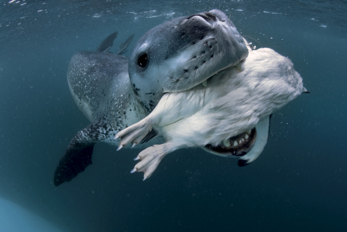 Leopard Seal near an ice berg. We have named her sexy babe because she is extremely large and very curious and a very wonderful seal. She started getting aggressive and chattered her jaw at the other seal. She was also giving us guttural vocalisations which could have been aggression. Will attempt splits of this seal.