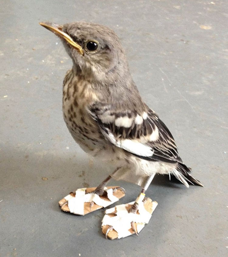 mockingbird-feet-problem-snowshoes-cwc-vinegret-2