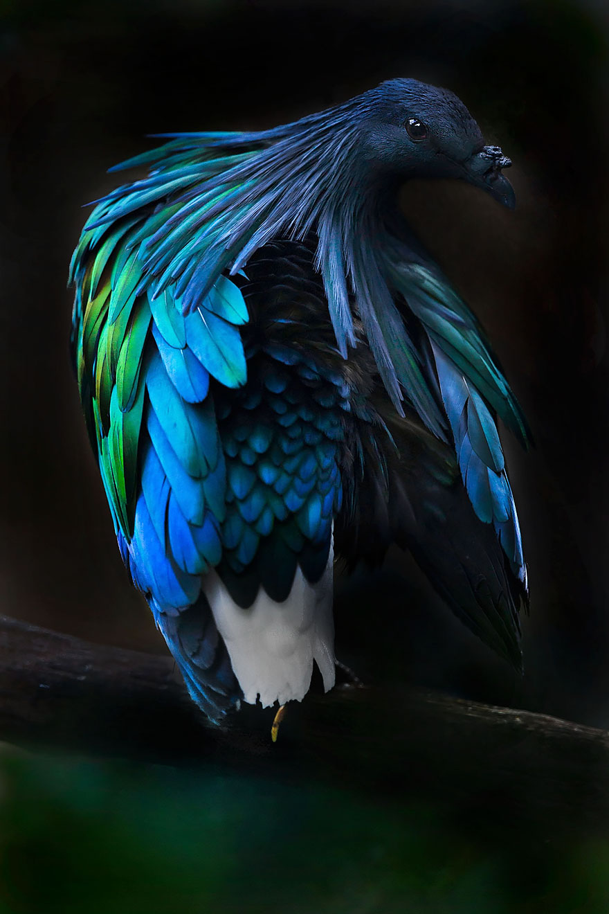 nicobar-pigeon-colorful-dodo-relative-36