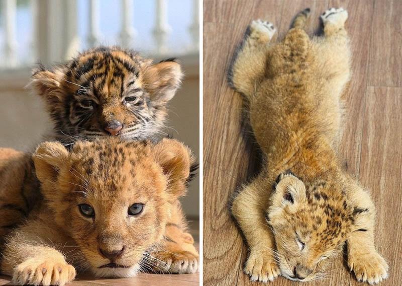 xoroshie-druzya-tigrenok-i-lvenok-v-japan-safari-parke-vinegret-11