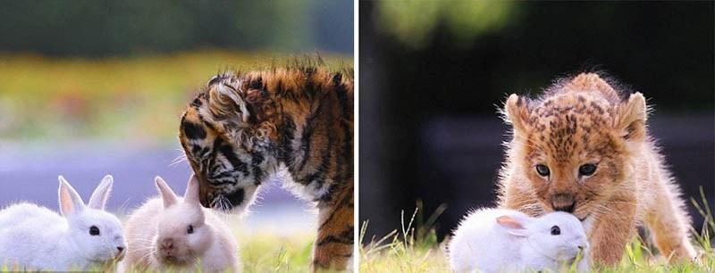 xoroshie-druzya-tigrenok-i-lvenok-v-japan-safari-parke-vinegret-12