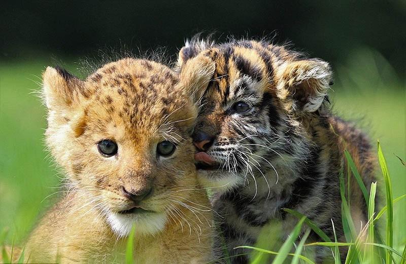 xoroshie-druzya-tigrenok-i-lvenok-v-japan-safari-parke-vinegret-3