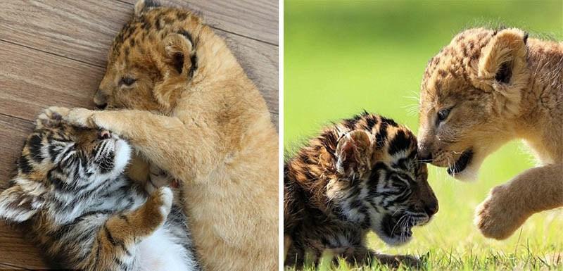 xoroshie-druzya-tigrenok-i-lvenok-v-japan-safari-parke-vinegret-4