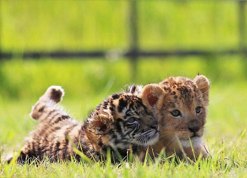 xoroshie-druzya-tigrenok-i-lvenok-v-japan-safari-parke-vinegret-5