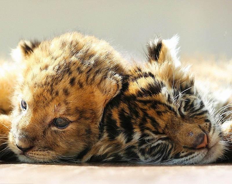 xoroshie-druzya-tigrenok-i-lvenok-v-japan-safari-parke-vinegret-6