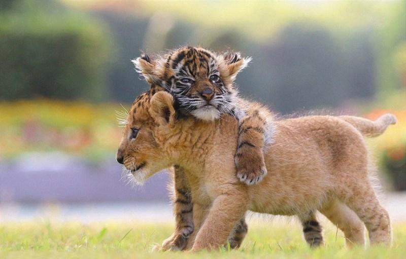 xoroshie-druzya-tigrenok-i-lvenok-v-japan-safari-parke-vinegret-9