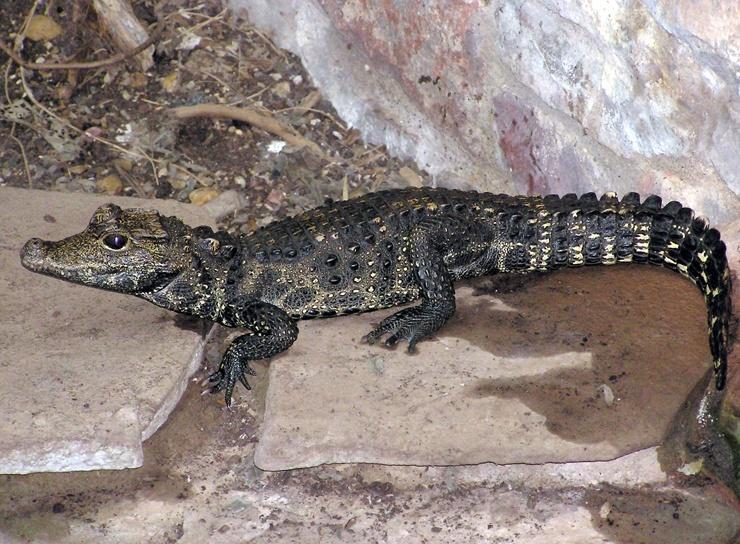 karlikovyj-afrikanskij-krokodil