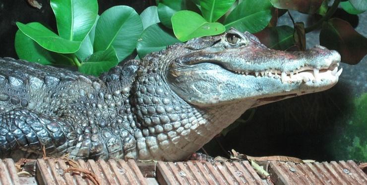 krokodilovyj-kajman