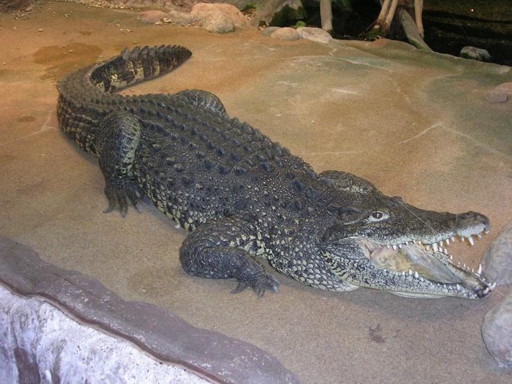 kubinskij-krokodil