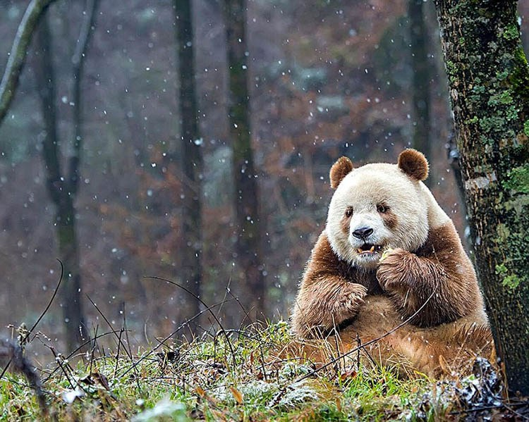 abandoned-brown-panda-qizai-vinegret-12