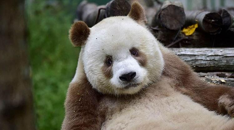 abandoned-brown-panda-qizai-vinegret-4
