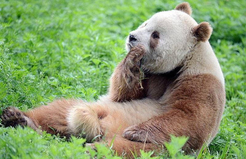 abandoned-brown-panda-qizai-vinegret-6