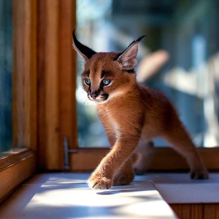cute-baby-caracals-vinegret-1