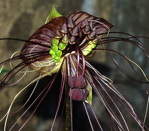ekzoticheskij-cvetok-takka-6