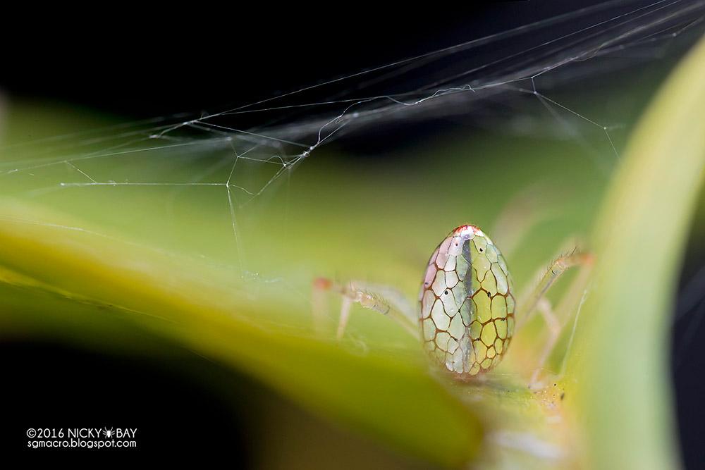 neobychnye-zerkalnye-pauki-8