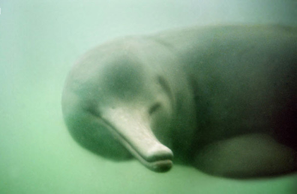 the characteristics of the baiji dolphin an endangered species Let's save the vaquita less than 30 of the critically endangered vaquita porpoise remain in mexico extinction is imminent, but there still is hope.